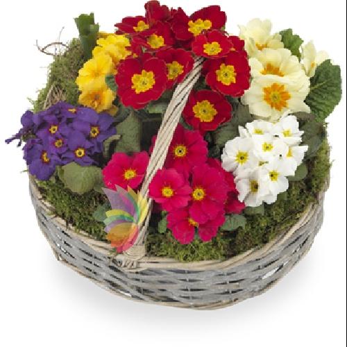 Cesto di primule spediamo fiori dolci e regali a domicilio for Primule immagini