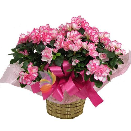 pianta di azalea fiorita spediamo fiori dolci e regali