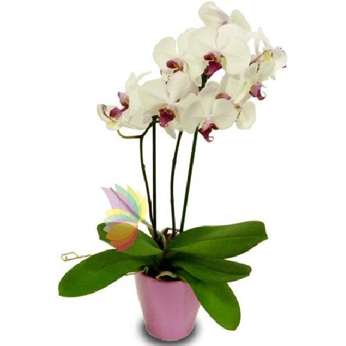 Phalaenopsis spediamo fiori dolci e regali a domicilio for Orchidea pianta