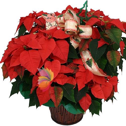 Stella Di Natale Pianta.Stella Rossa Big