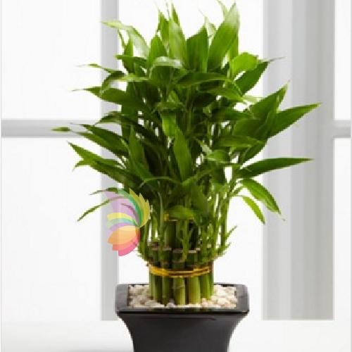 Originale pianta di bamb in vaso spediamo fiori dolci for Bambu in vaso prezzo