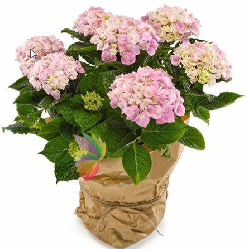 pianta di ortensia spediamo fiori dolci e regali a