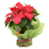 Regala Una Splendida Pianta Stella Di Natale